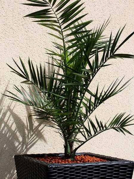 la main verte faire pousser un palmier en bretagne merci pour le chocolat. Black Bedroom Furniture Sets. Home Design Ideas