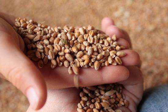 petites mains dans le grain