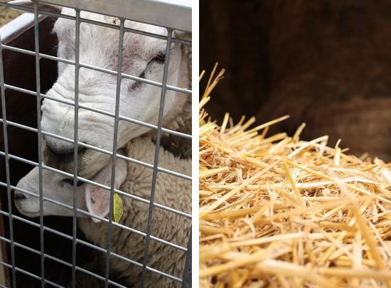 mouton et bélier