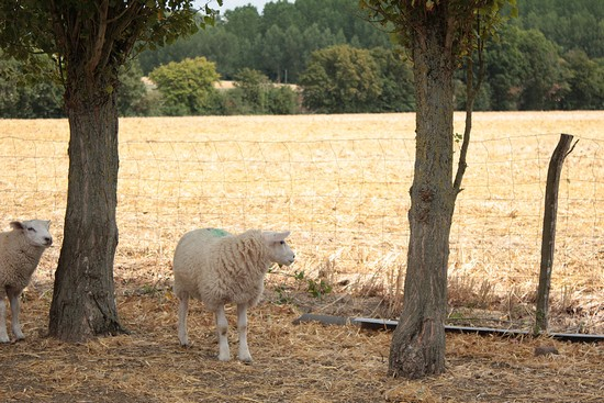 moutons à l'ombre