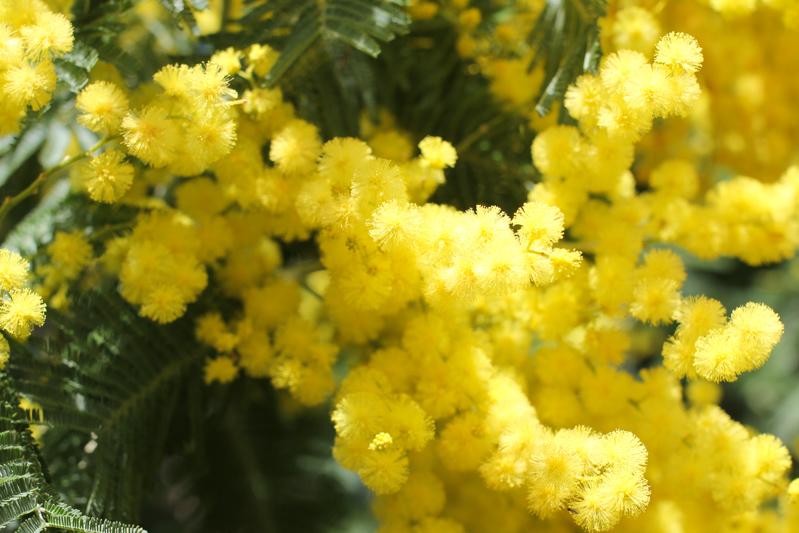WBZH_mimosa09