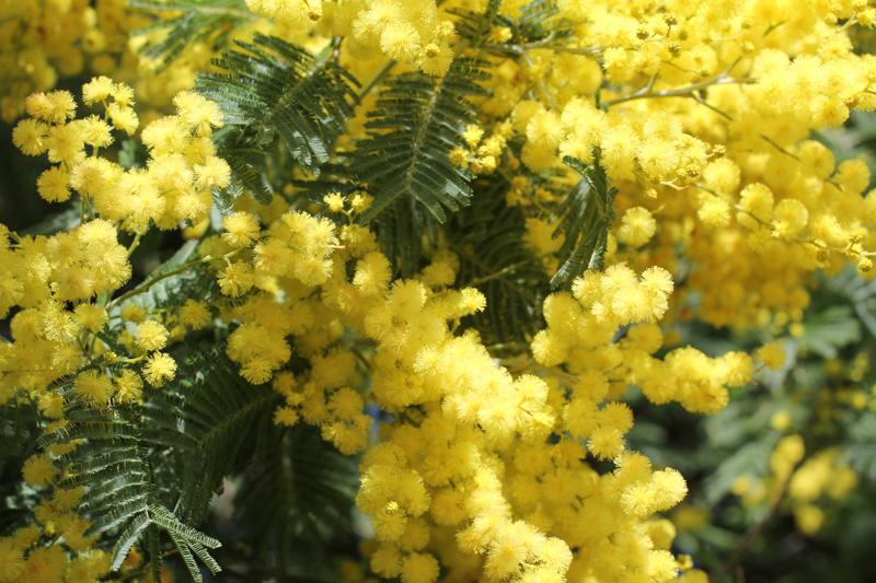 WBZH_mimosa10