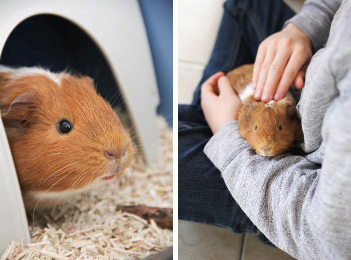 Cookie, notre cochon d'inde