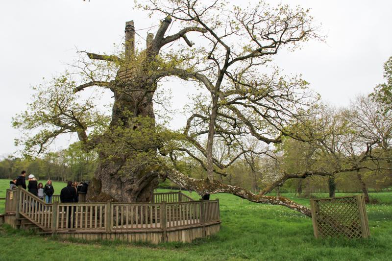 le Chêne à Guillotin, Brocéliande (via wonderfulbreizh.fr)