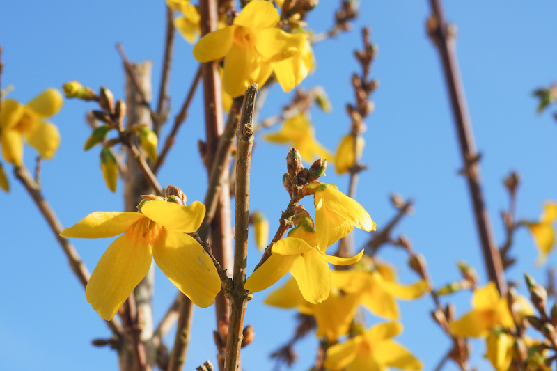 Forsythia - fleurs jaunes printemps