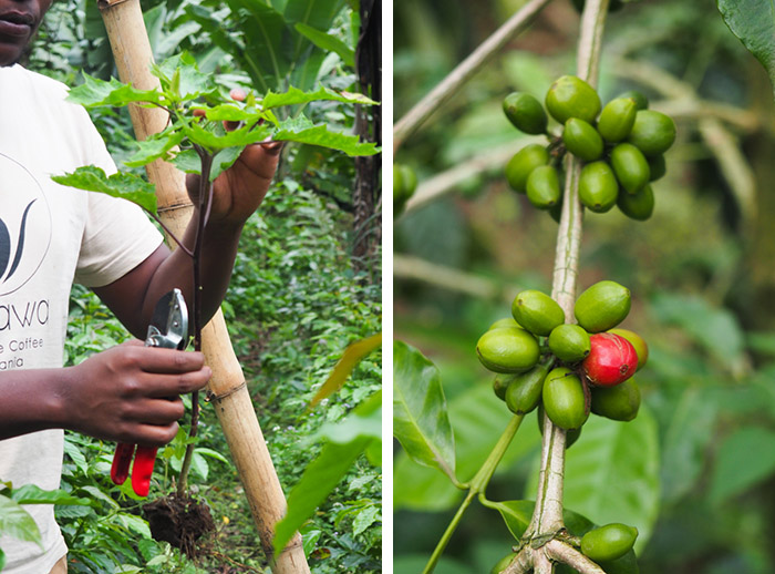 Wild Tracks Coffee planttaion, Arusha, Tanzanie