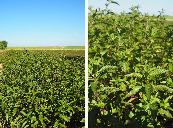 champ menthe poivrée Vercors - Sanoflore
