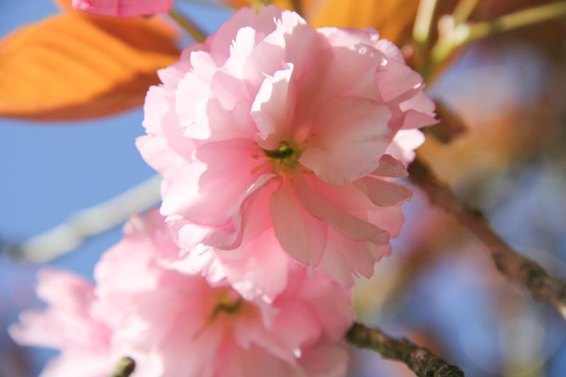 Prunier du Japon en fleurs (via mercipourlechocolat.fr)
