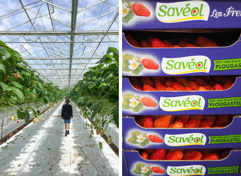 SAVEOL - fraises Freizh