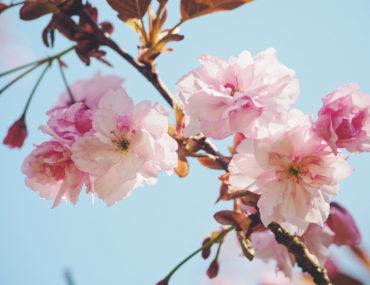 fleurs prunus