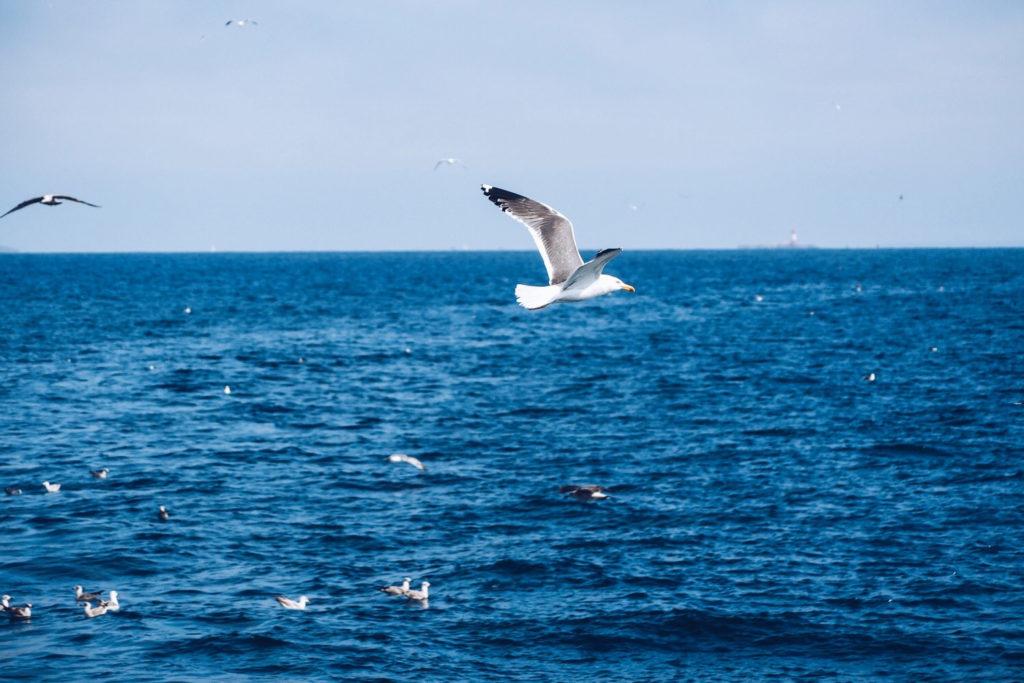 FAUNE OCÉAN - croisière naturaliste obeservation dauphins & oiseaux - baie de Quiberon - Morbihan, Bretagne (via mercipourlechocolat.fr)
