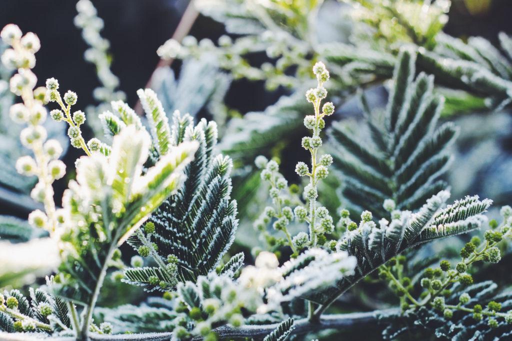 mimosa givré