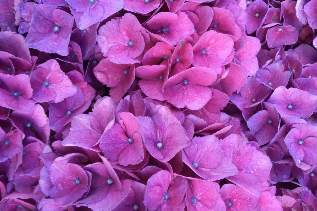 hortensias bretagne